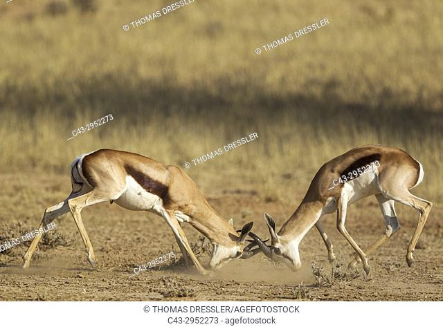 Springbok (Antidorcas marsupialis). Fighting males. Kalahari Desert, Kgalagadi Transfrontier Park, South Africa