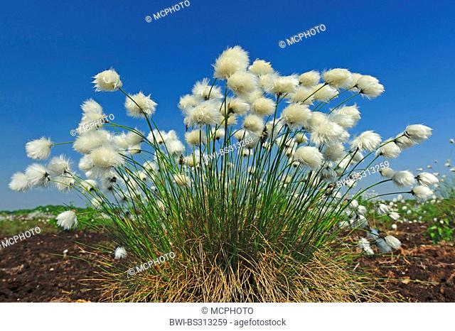 tussock cotton-grass, hare's-tail cottongrass (Eriophorum vaginatum), fruiting against blue sky, Germany, Lower Saxony, Goldenstedter Moor
