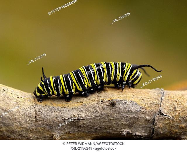 caterpillar of Danaus plexippus