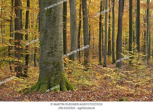 Forest in autumn colours. Spessart, Bavaria, Germany