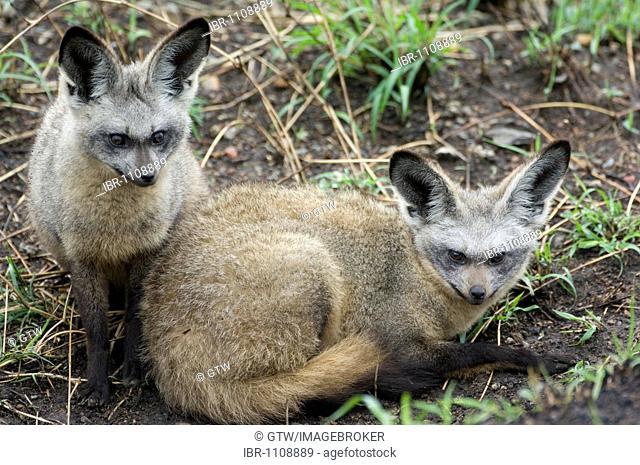 Bat-eared foxes (Otocyon megalotis), Masai Mara, Kenya, Africa