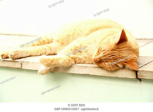 Cat; Feline; Brazil