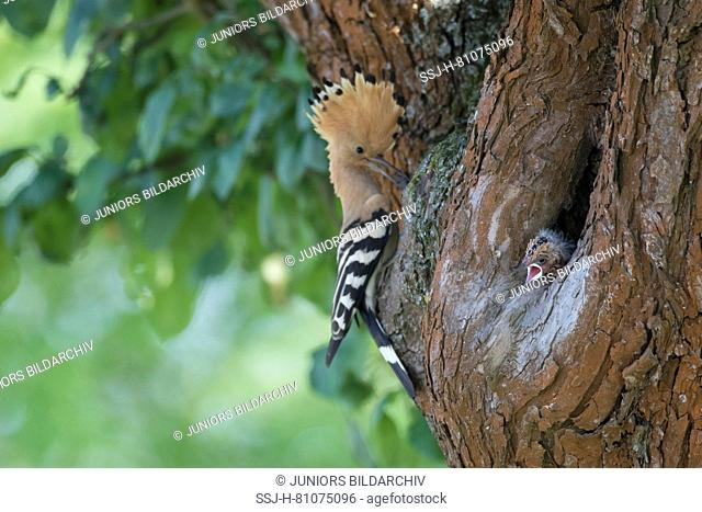 Hoopoe (Upupa epops). Adult at nest with chicks. Germany