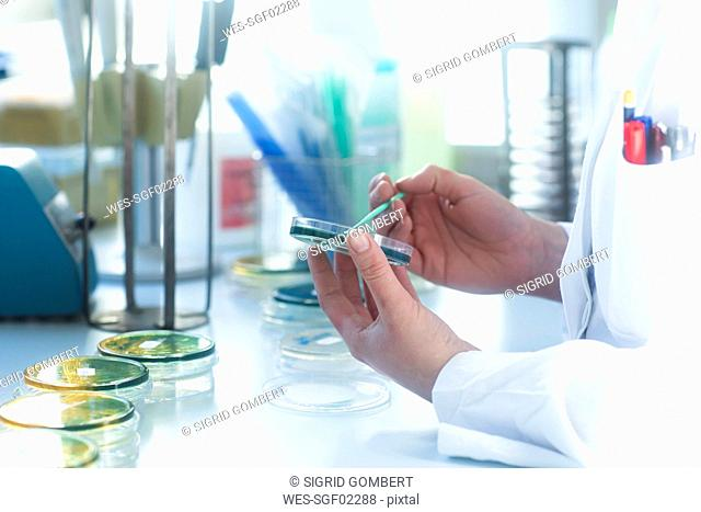 Lab technician working with growth medium in petri dish in lab