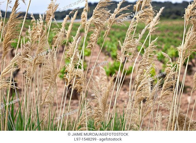 Looking through tall grass to wine fields