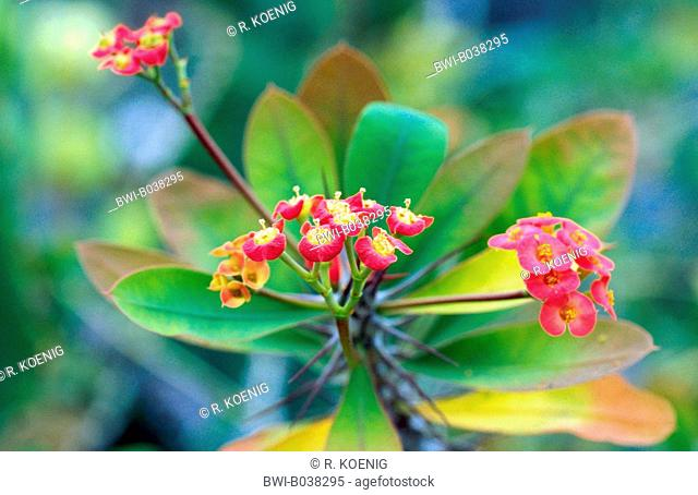 honkey tonk (Euphorbia duranii), blooming
