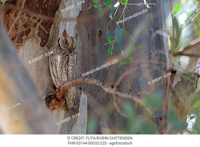 Eurasian Scops-owl (Otus scops) adult, roosting on branch during daytime, Lesvos, Greece, April