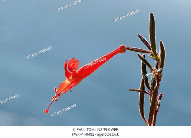Penstemon cultivar, Penstemon, Red subject, Blue background