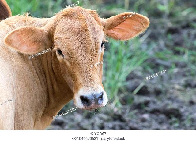 Young cattle standing staring on nature background