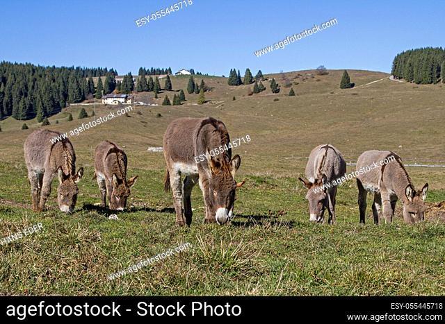 pasture, grazing, mule