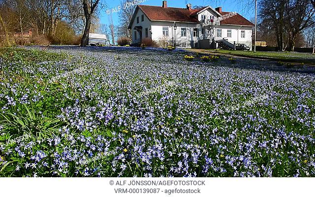Scilla flowers in a garden