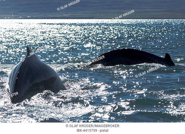 Humpback whales (Megaptera novaeangliae) diving, Eyjafjörður, Iceland