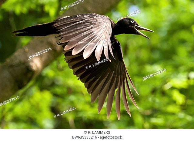 black woodpecker (Dryocopus martius), female in flight, Germany, North Rhine-Westphalia