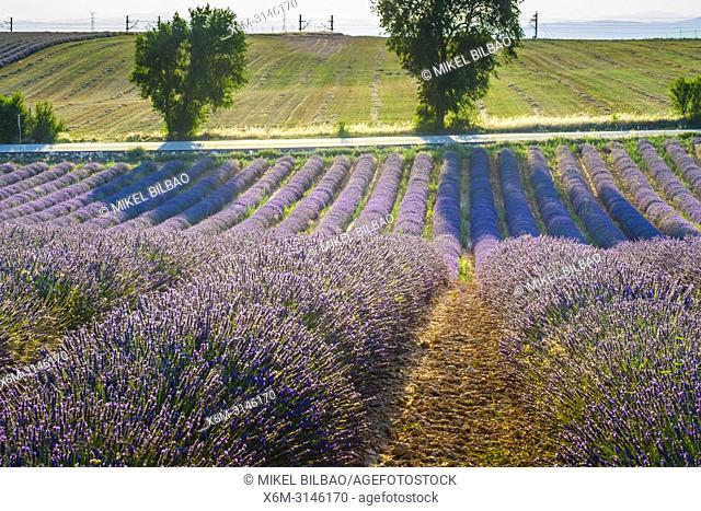 Lavender fields. Brihuega, Guadalajara. Castile-La Mancha. Spain, Europe
