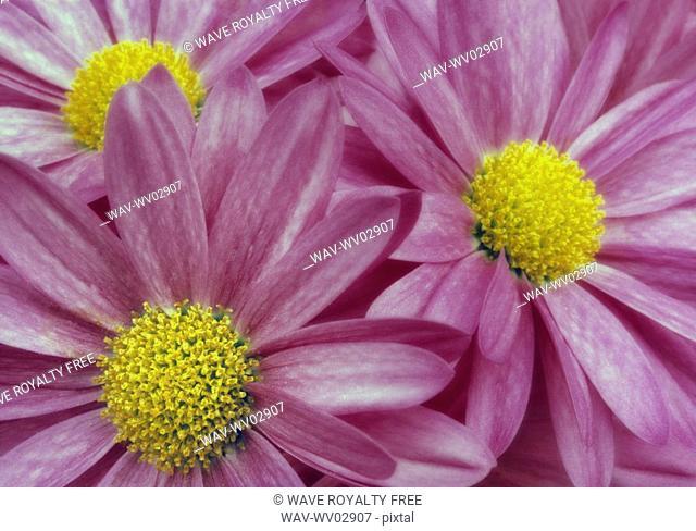 Close-up pink daisies, Canada, Alberta