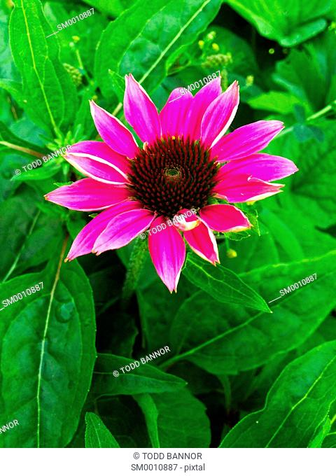 Echinacea 'Powwow Wild Berry' a cultivar of purple coneflower Echinacea purpurea