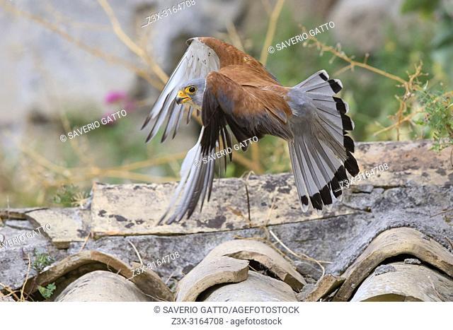 Lesser Kestrel, Flight, Matera, Basilicata, Italy (Falco naumanni)