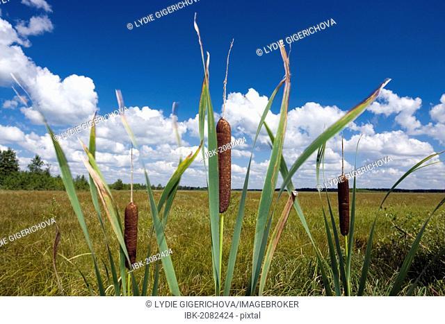 Broadleaf Cattail, Cumbungi (Typha latifolia), Grobla Honczarowska, Bagno Lawki wetlands, Biebrzanski National Park, Poland, Europe