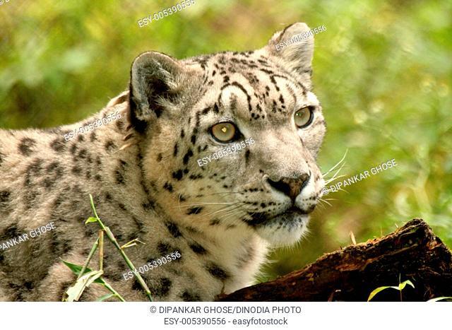 Snow leopard uncia at himalayan zoological park ; Bulbulay near Gangtok ; Sikkim ; India