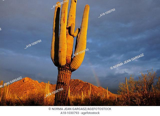 Saguaro cactus Carnegiea gigantea along Bajada Loop Drive in Saguaro National Park are wet after a winter rain in an El Nino year in the Sonoran Desert,Tucson