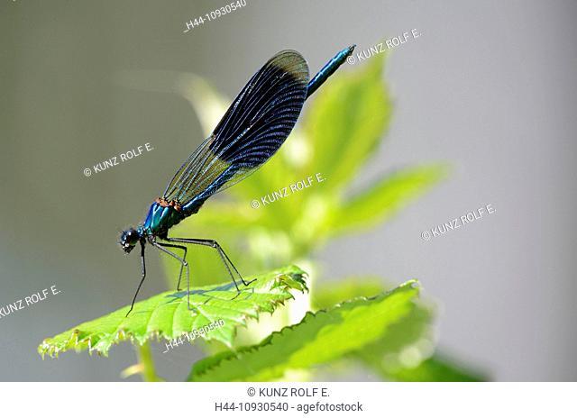 Banded demoiselle, Calopteryx splendens, Odonata, male, dragon-fly, insect, animal, Gippingen, Canton, Argovie, Switzerland