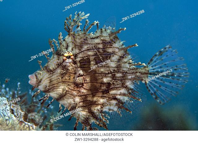 Leafy Filefish (Chaetodermis penicilligera), Segara dive site, Seraya, near Tulamben, Bali, Indonesia