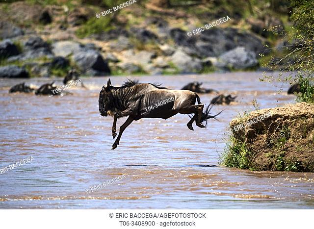 Eastern White-bearded Wildebeest (Connochaetes taurinus) jumping into Mara river on migration, Masai Mara National Reserve, Kenya