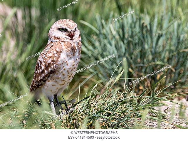A burrowing owl