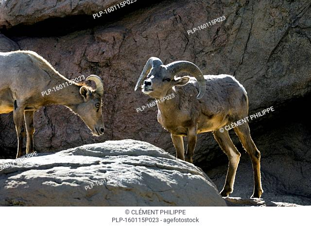 Nelson's bighorn sheep / Desert bighorn sheep (Ovis canadensis nelsoni) male and ewe standing on ledge in rock face, native to deserts of Southwestern United...