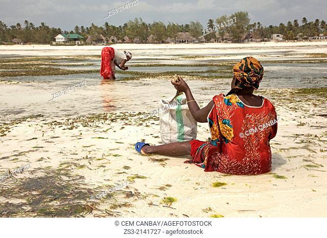 Women in colorful dress picking conchs on Jambiani beach, Zanzibar Island, Tanzania, East Africa