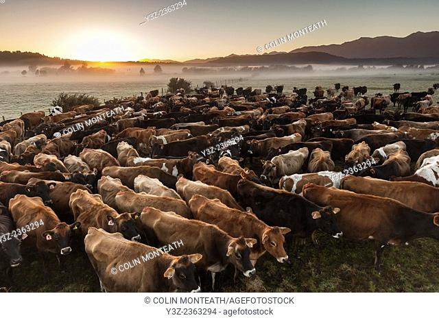 Dairy cows waiting to be milked on winter morning, Whataroa, West Coast New Zealand