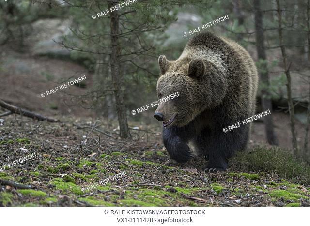 Brown Bear / Braunbär ( Ursus arctos ) walking up a little hill in a forest, frontal shot, Europe