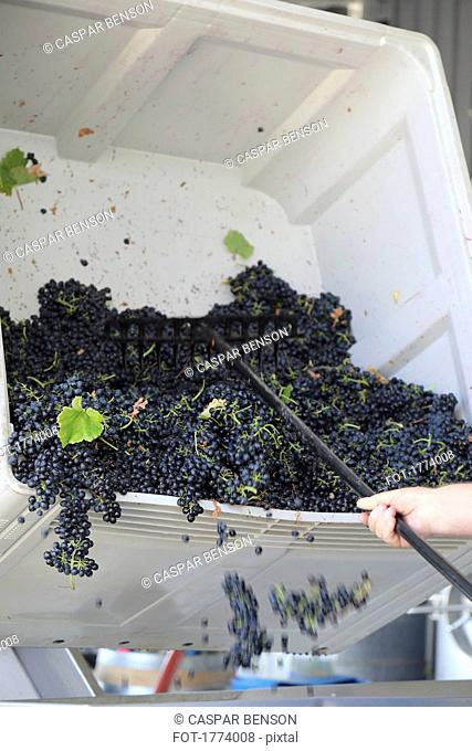 Winemaker emptying fresh harvested grapes from bin at winery