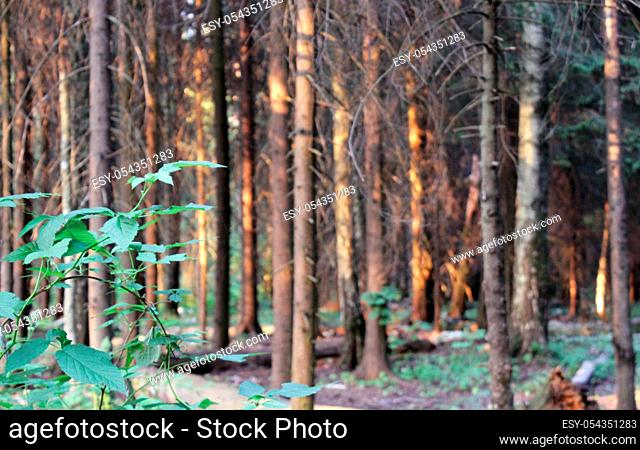 path through a pine forest, lit by the setting summer sun