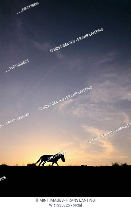 Takhi at sunset, Equus caballus przewalskii, Hustain Nuruu National Park, Mongolia