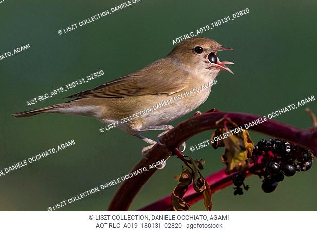 Garden Warbler foraging on berries, Garden Warbler, Sylvia borin