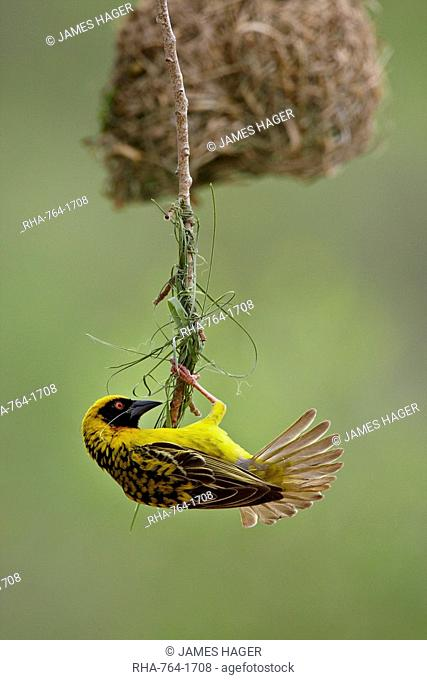 Male Spotted-backed weaver Village weaver Ploceus cucullatus building a nest, Hluhluwe Game Reserve, South Africa, Africa