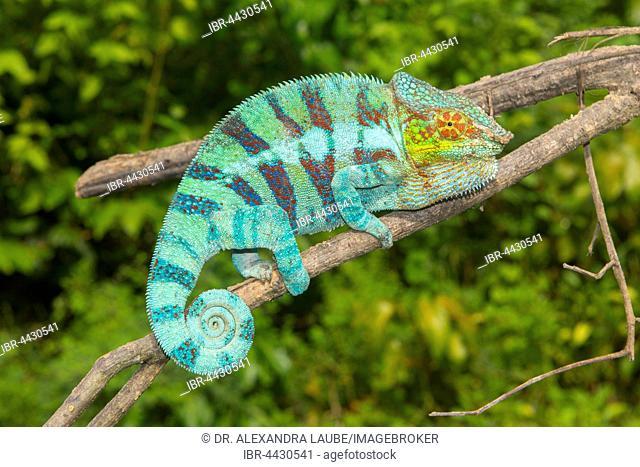 Panther chameleon (Furcifer pardalis), male on branch, Djangoa, northwestern Madagascar, Madagascar