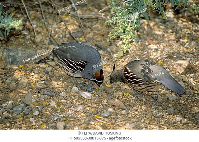 Gambel's Quail Callipepla gambelii Male and female - Arizona, U S A