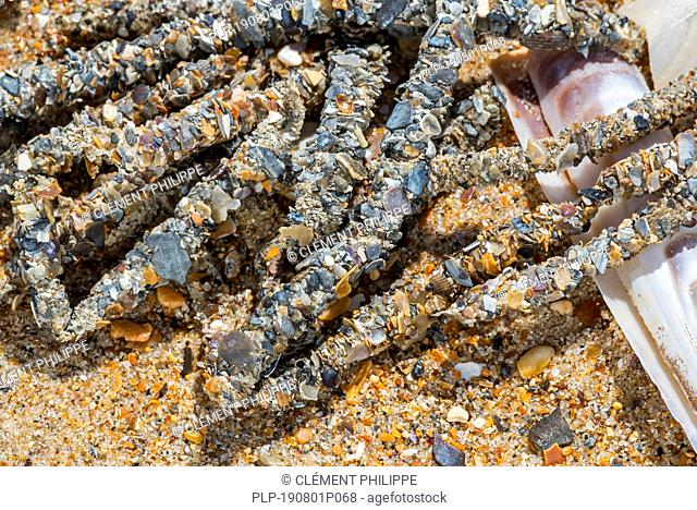 Tubes debris showing cemented sand grains and shell fragments from sand mason worms (Lanice conchilega) washed ashore on sandy beach