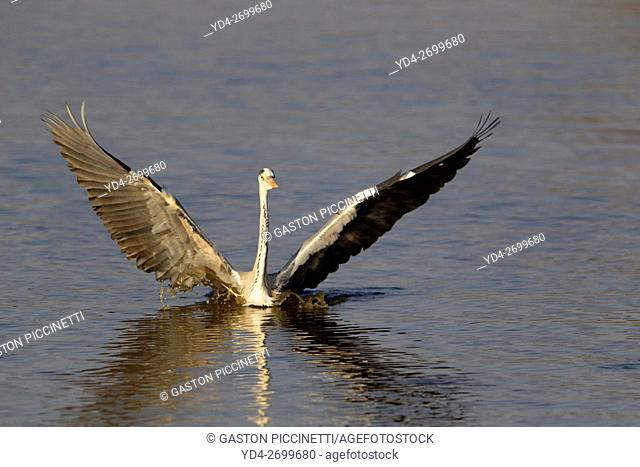 Grey Heron (Ardea cinerea), Kruger National Park, South Africa