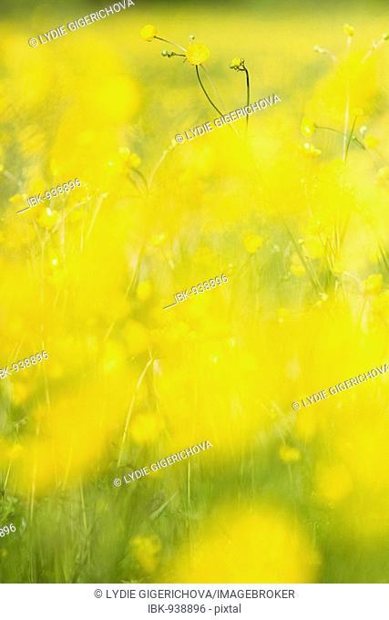 Buttercup flowers in Mala Upa, Krkonose National Park, East Bohemia, Czech Republic, Europe