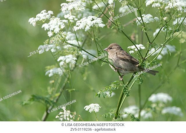 Female House Sparrow, Passer domesticus perched on Cow Parsley-Anthriscus sylvestris