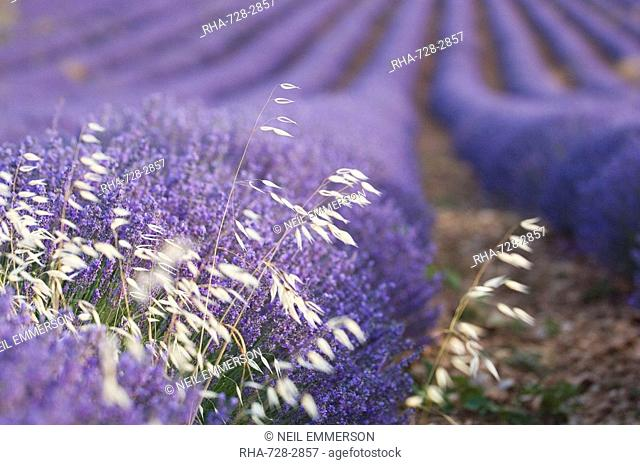 Lavender and Grass, Luberon, France