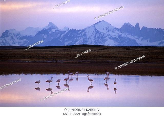 animal, bird, Chilean-flamingo
