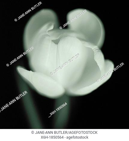 elegant and beautiful black and white still life of opening tulip