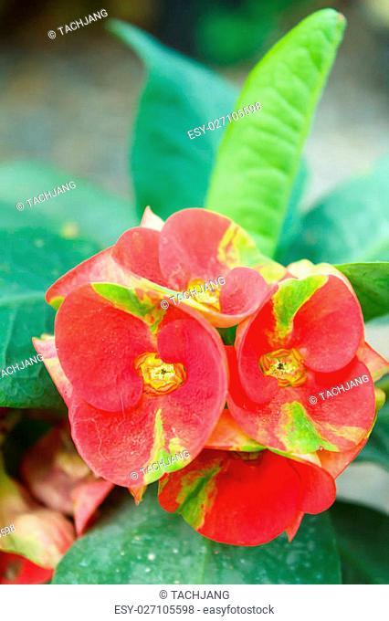 crown of thorns, christ thorn, poi sian flowers(euphorbia milii )