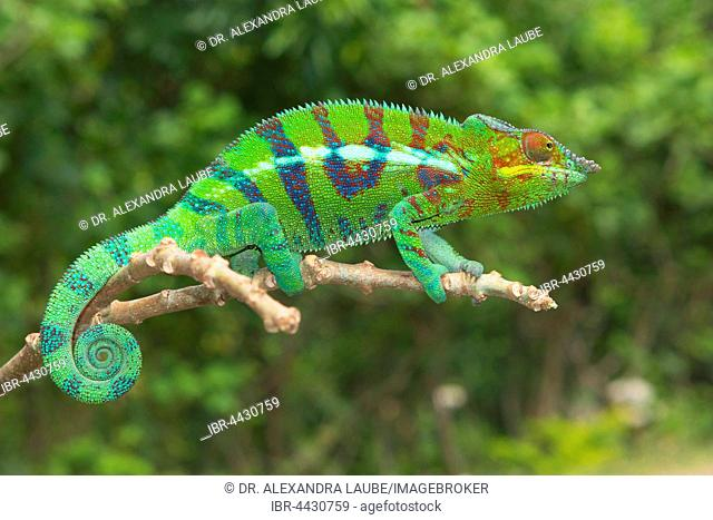 Panther chameleon (Furcifer pardalis), male on branch, Ankify, northwestern coast, Madagascar