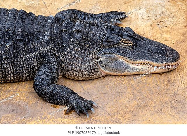 American alligator / gator / common alligator (Alligator mississippiensis) endemic to the Southeastern United States