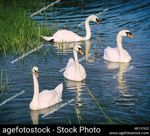 Timoleaque, West Cork, County Cork, Republic of Ireland. Eire. Swans in the Argideen estuary. Mute swans. Cygnus olor